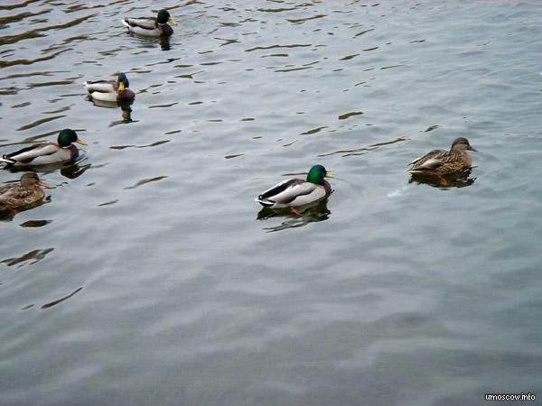 Ducks (Утки)